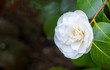 canvas print picture - Kamelie (Camellia japonica)