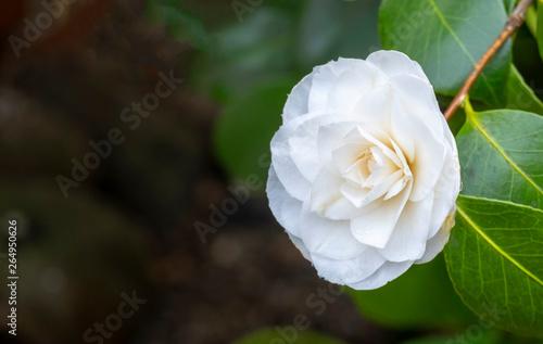 Obraz na plátně  Kamelie (Camellia japonica)