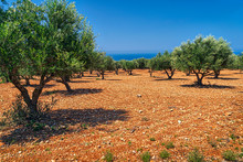 Field Of Olive Trees On Stony ...
