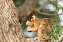 Southern Fox Squirrel Sciurus Niger Perches In A Tree To Snack On Fruit From A Tree
