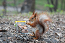 Red Squirrel With Shopping Cart