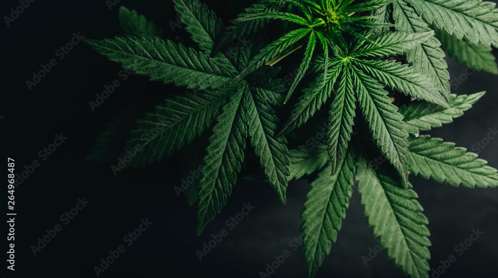 Fototapety, obrazy: marijuana cannabis leaf background
