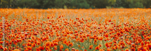 Ingelijste posters Poppy Spring blooming poppy meadow.