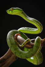 Green Pit Viper Snake