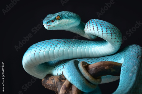Blue Insularis Snake Canvas Print