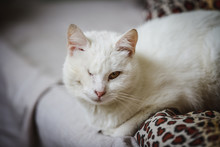One-eyed White Cat Resting On The Couch
