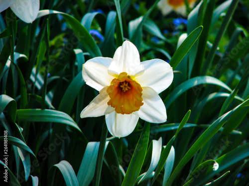 Wall Murals Narcissus Beautiful white narcis in sunny day on grassy background
