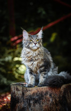 Blue Tabby Maincoon Cat Chilling And Sitting In  Green Garden. Yellow Eyes Cat Outdoor In Daytime Lighting Sitting On Wooden Log. Healthy Gray Kitten In Forest.