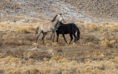 Wild Horse Stallions Fighting in Winter in Utah