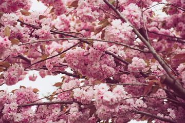 FototapetaSakura flowers blooming