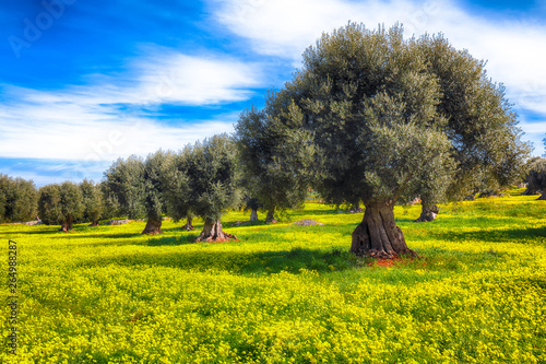 Poster Olijfboom Plantation with many old olive trees and yellow blossoming meadow