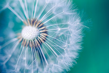 Closeup Of Dandelion On Natural Background. Bright, Delicate Nature Details. Inspirational Nature Concept, Soft Blue And Green Blurred Bokeh Backgorund