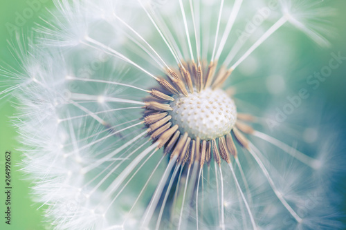 Fototapety, obrazy: Closeup of dandelion on natural background. Bright, delicate nature details. Inspirational nature concept, soft blue and green blurred bokeh backgorund