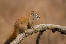 Cute Little Squirrel Crawls On A Branch At Turnbull Wildife Refuge