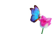 Beautiful Blue Morpho Butterfly On A Flower On A White Background.Tulip Flower In Dew Drops Isolated On White. Tulip Bud. Copy Spaces.
