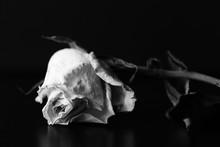 Dry White Rose On A Black Back...