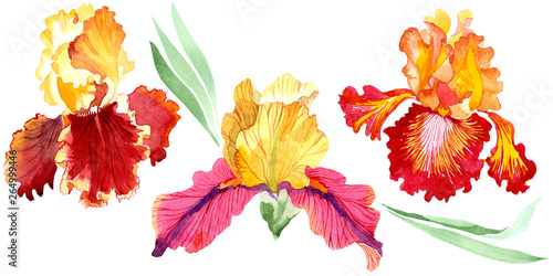 Fototapeta  Red Bold encounter iris floral botanical flowers