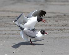 Laughing Gull Mating