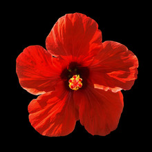 Red Hibiscus Syriacus Flower Isolated On Black Background.  Chinese Rose. Flat Lay, Top View. Macro Object