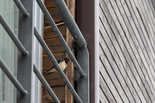 Spoed Foto op Canvas Trappen Swallows near houses. Closeup of birds.