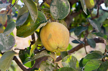 Cydonia Oblonga Fruits Hanging On Tree Branches, Rippened Edible Sour Apple
