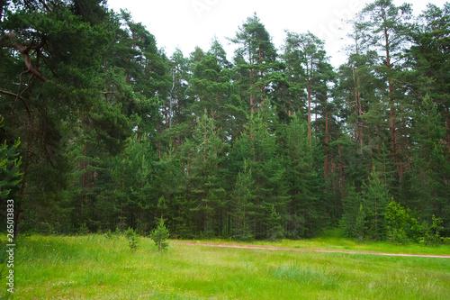 Printed kitchen splashbacks Khaki Summer Pine Forest