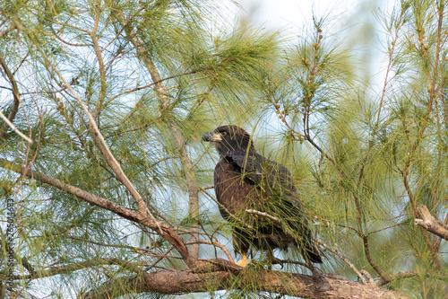 Foto Sitting on a branch after leaving the nest, a Juvenile fledgling bald eaglet Hal
