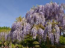 Blue Wisteria Sinensis Flowers In Garden