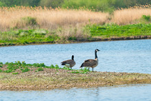 Two Canada Geese (Branta Canad...