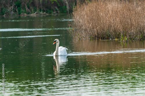 Foto auf Acrylglas Schwan White (mute) swan (Cygnus olor) on a lake
