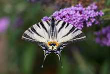 Scarce Swallowtail, Iphiclides...