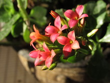 Close Up Of Petals On A Potted Pink Kalanchoe Plant In The Sunlight