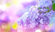 Lilac Spring Violet Flowers Bu...