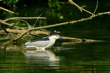 Night Heron Fishes And Eats A Fish