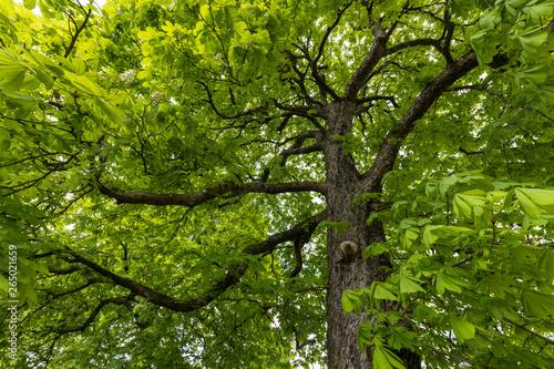 Blühende Kastanienbäume im Frühling #265021659