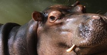 Close Up Of Hippopotamus Head Showing Tusks