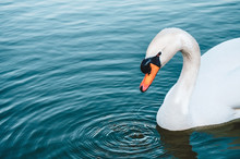 White Swan In Blue Lake Plunging Head In The Water, Making Circles