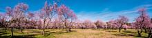 Alleys Of Blooming Almond Tree...