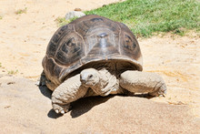 Beautiful Portrait Of A Huge And Aged Land Tortoise