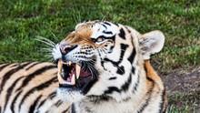 An Aggressive Bengal Tiger Portrait