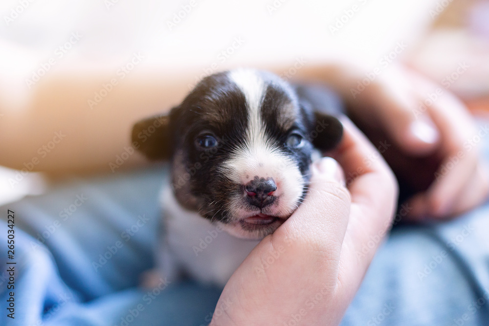 Fototapety, obrazy: hands of the person child hold a small newborn puppy welsh corgi cardigan . the puppy has just opened his eyes sits on his owner feet. man strokes a dog