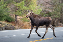 Moose Crossing Road In Adirondack Mountains