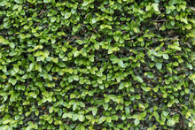 Green Ivy Wall Close Up