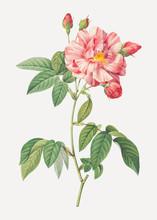 Pink French Rosebush