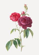 Blooming Purple Roses