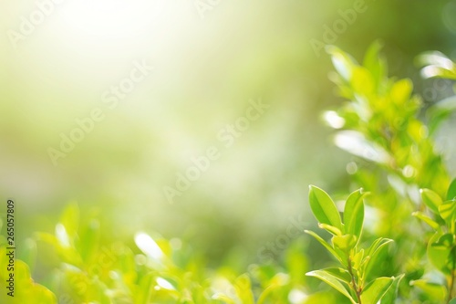 Fototapety, obrazy:  Nature leaf green in the garden.Concept organic leaves green and clean ecology in summer sunlight plants landscape. bokeh blurred bright green use texture wallpaper natural background.selective focus
