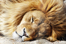 Closeup Of The Head Of A Sleeping African Lion With A Lush Mane
