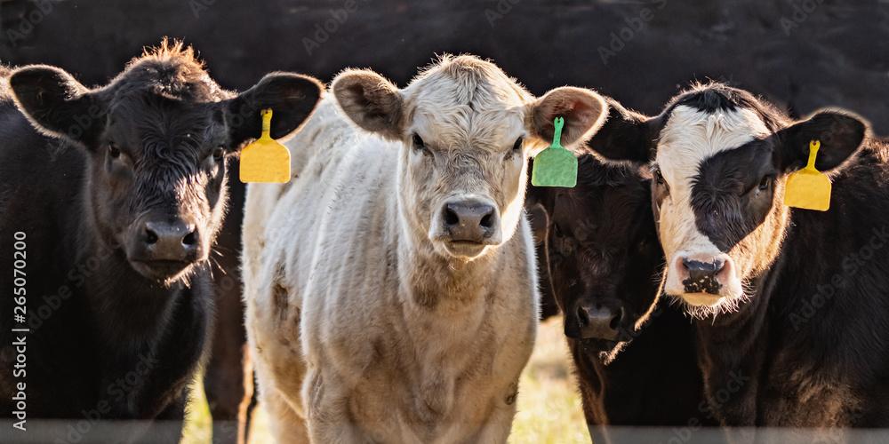 Fototapeta Line of crossbred calves web banner