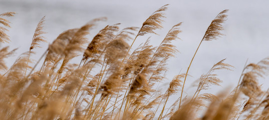 Reed grass in bloom, scientific name Phragmites australis, deliberately blurred, gently swaying in the wind on the shore of a pond