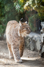 Eurasian Lynx (Lynx Lynx) Wild Cat Occurring From Northern, Central And Eastern Europe To Central Asia And Siberia, The Tibetan Plateau And The Himalayas